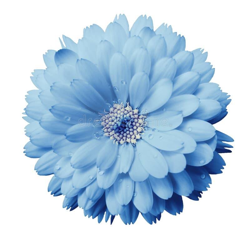 De Calendulabloem lichtblauw met dauw op een wit isoleerde achtergrond met het knippen van weg close-up stock afbeelding
