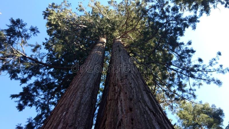 De Californische sequoia van Californië stock fotografie