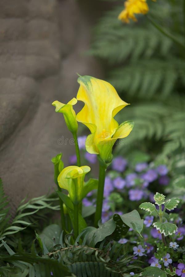 De Callalilylente in de tuin royalty-vrije stock fotografie