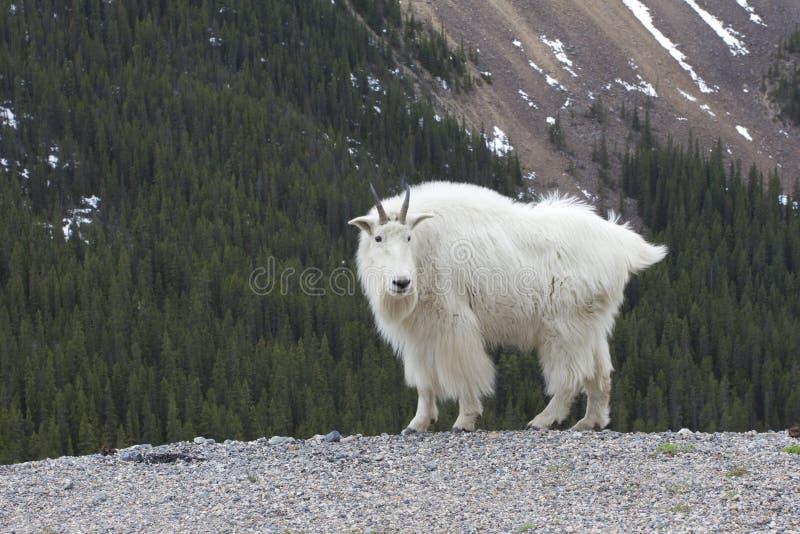 De Canadese Rotsachtige Geit van de Berg stock foto