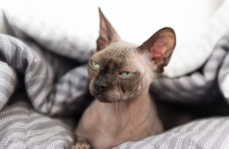 De Canadese Sphynx-kat kijkt met versmalde ogen, kale kattensnuit, huisdier stock afbeelding