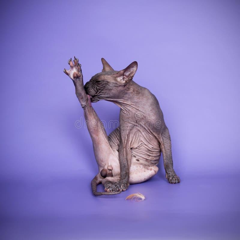De Canadese sphynxkat likt zich grappig royalty-vrije stock afbeelding
