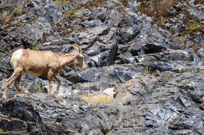 De Canion Idaho van de Hel van Big Hornschapen stock afbeeldingen