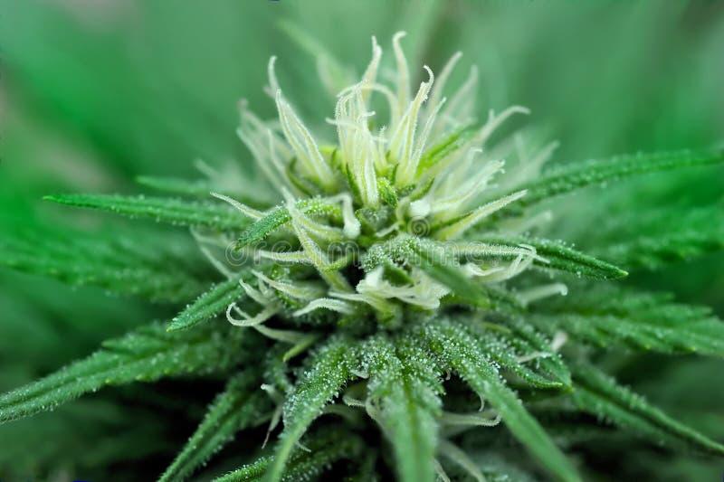 De cannabis bloeit dicht omhoog stock foto