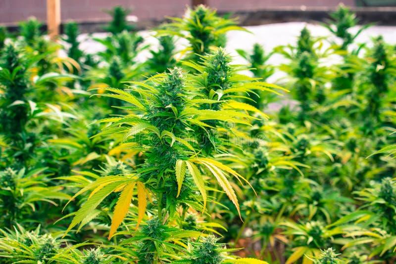 De Cannabis Gorilla Grow van Californië stock foto