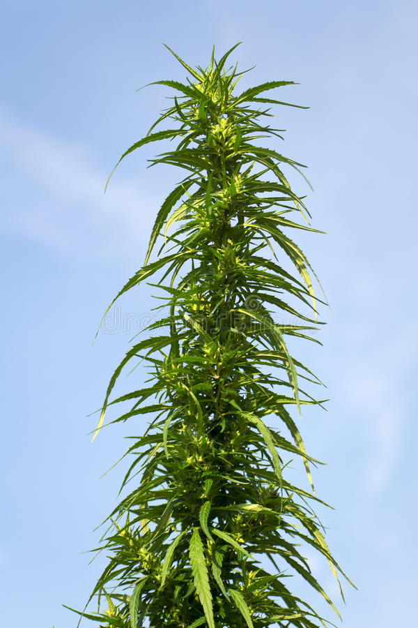 De cannabis van de struik royalty-vrije stock foto's