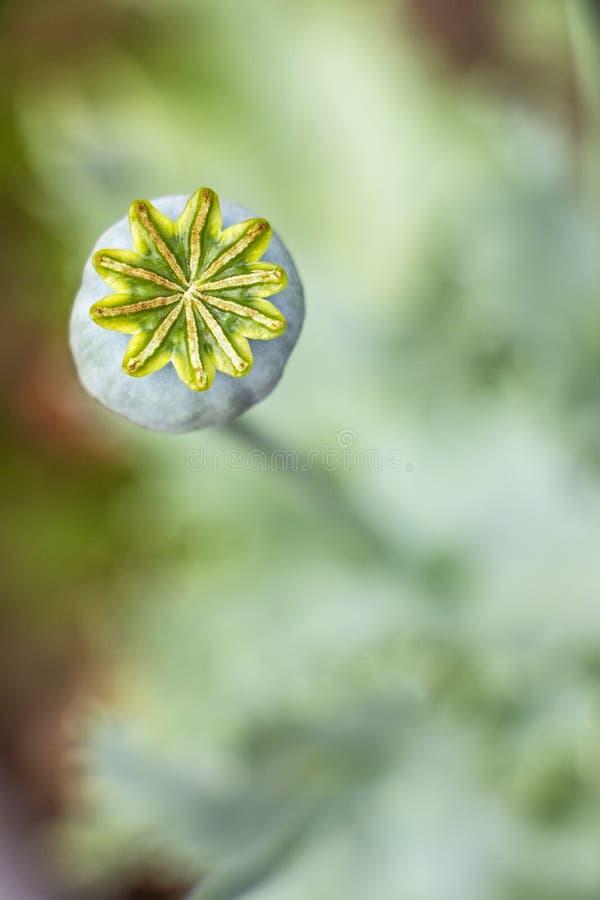 De capsulekroon van het papaverfruit op de natuurlijke vage achtergrond van papaverbladeren stock afbeelding