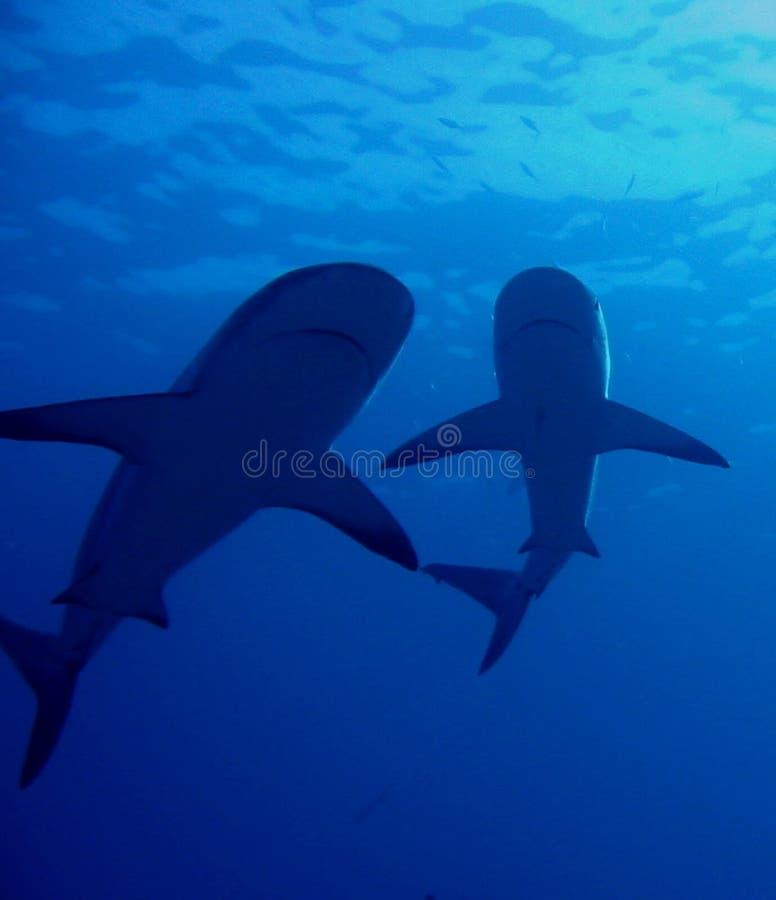 De Caraïbische Haaien van de Ertsader royalty-vrije stock foto's