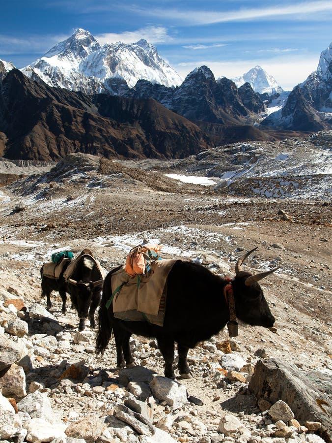De caravan van yaks in Renjo-dichtbijgelegen de Pas van La zet Everest op royalty-vrije stock afbeeldingen
