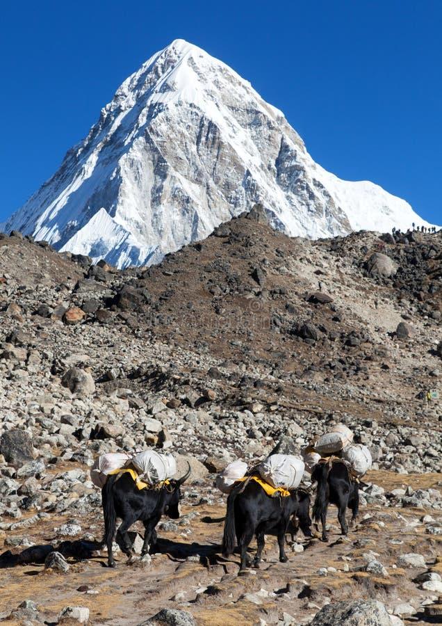 De caravan van yaks zet de bergen van Pumo op ri Nepal Himalayagebergte stock fotografie