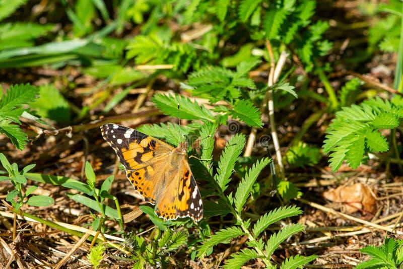 De carduivlinder van Vanessa zit op het gras en spreidt zijn vleugels uit stock afbeeldingen