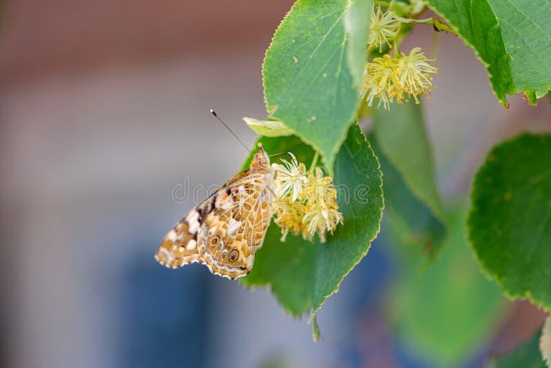 De carduizitting van vlindervanessa op een boom, de Lindeboom en eet het stuifmeel royalty-vrije stock afbeelding