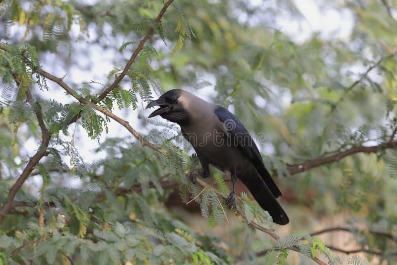 De casa del cuervo cierre para arriba una llamada fotos de archivo
