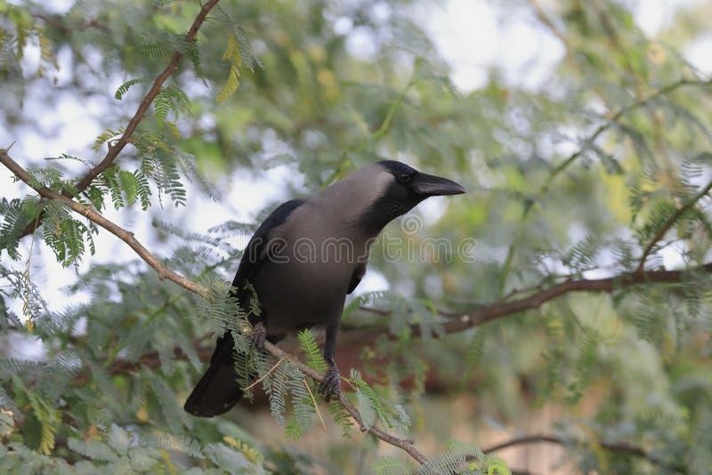 De casa del cuervo un cierre para arriba imágenes de archivo libres de regalías