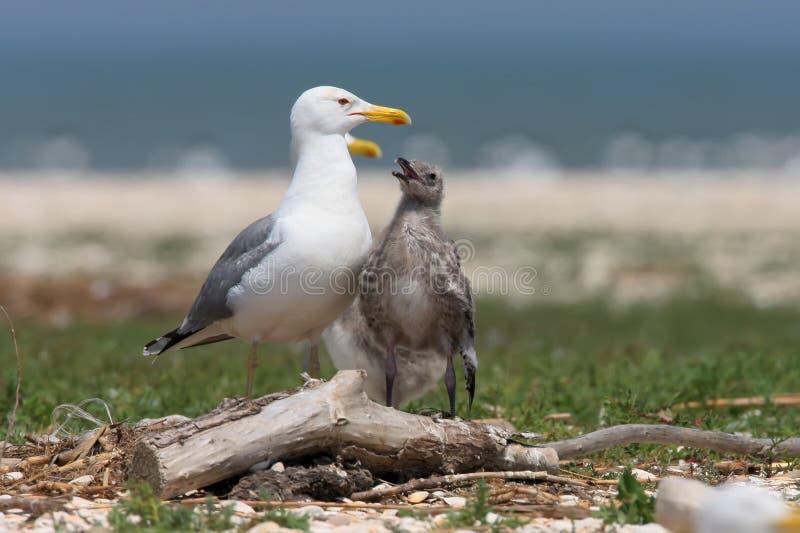 De Caspian gulslLaruscachinnansna med fågelungen royaltyfri fotografi