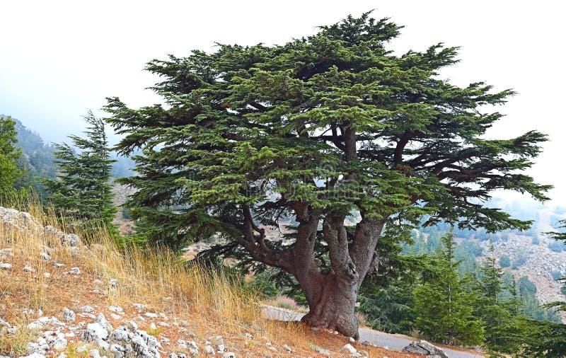 De Ceder van Libanon stock fotografie