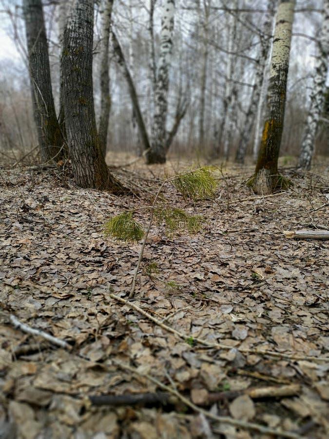 De cederspruit maakt zijn manier aan het licht, schot in het de lente bosclose-up royalty-vrije stock fotografie