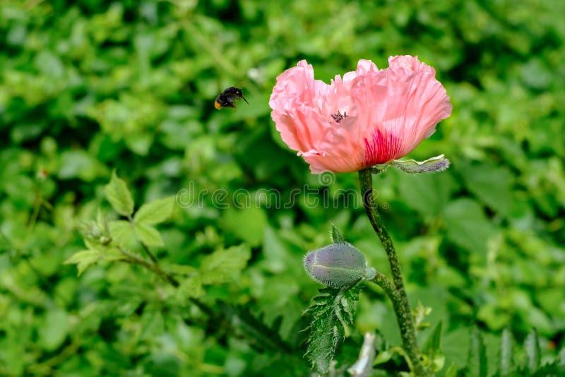 ` De Cedric Morris del ` de Poppy Papaver Orientale y abeja orientales del vuelo foto de archivo