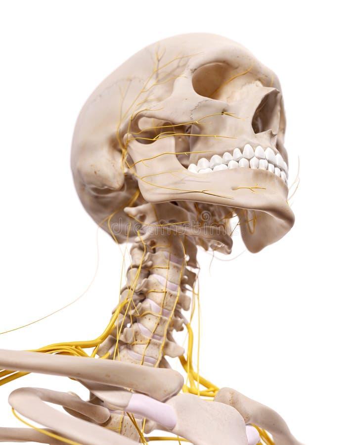 De cervikala nerverna royaltyfri illustrationer