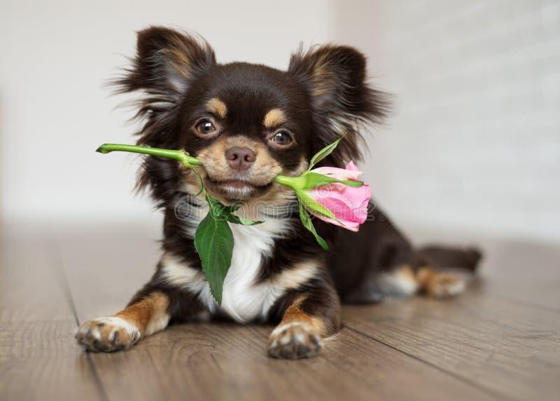 de chihuahuahond die roze houden nam toe stock foto's