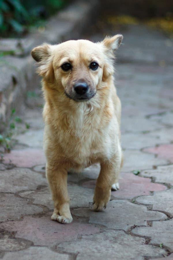 De Chihuahuahond zit trouw voor de eigenaar stock foto's
