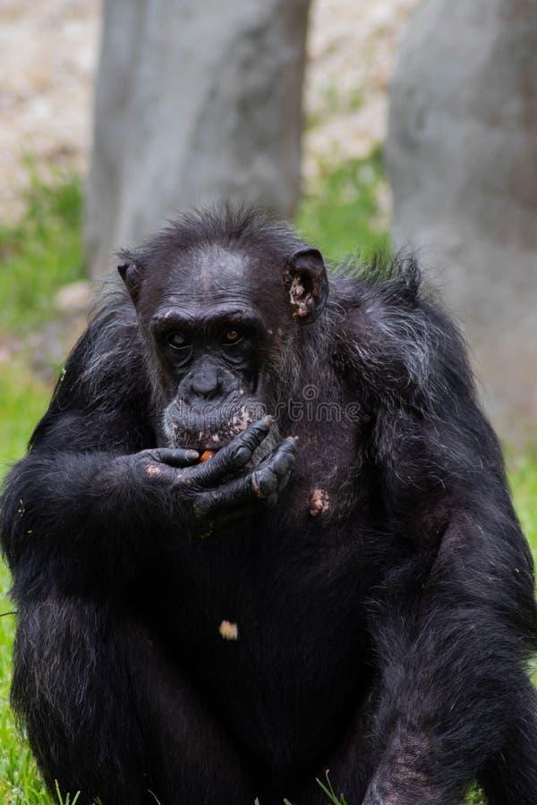 De chimpansee eet een Graan op Sunny Day royalty-vrije stock fotografie