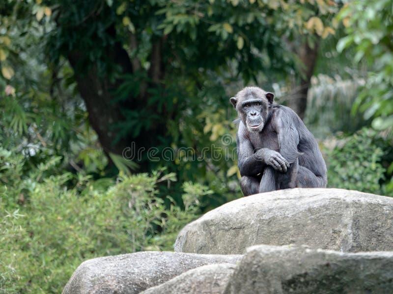 De chimpansee kijkt als een model die, die op een rots zitten en staren bij royalty-vrije stock foto's