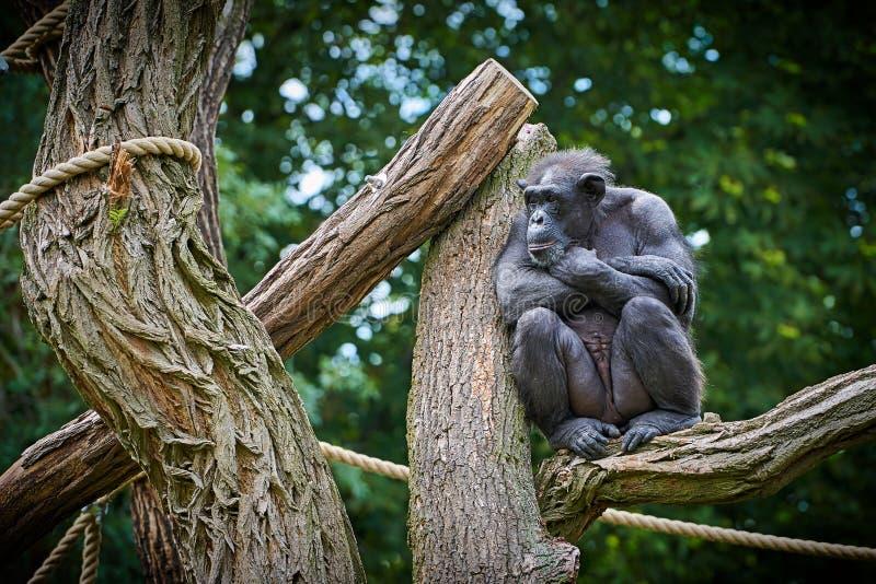 De chimpansee zit op een boom stock afbeelding