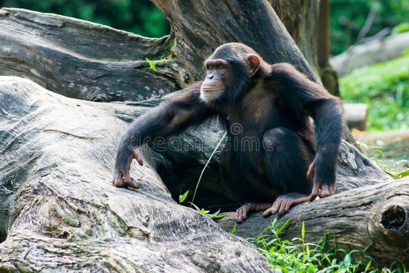 De chimpansee zit op een tak royalty-vrije stock afbeelding