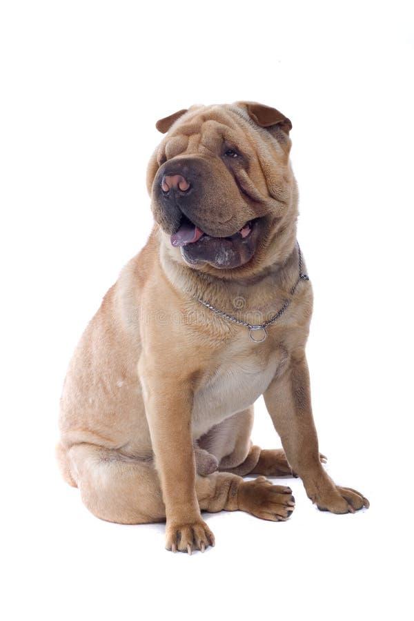 De Chinese hond van Shar Pei royalty-vrije stock foto's