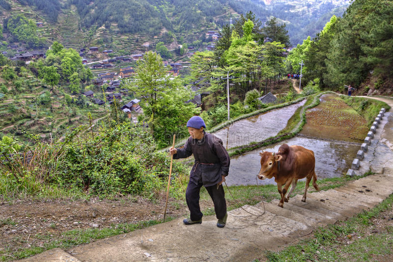 De Chinese landbouwer neemt op bergweg toe, houdend teugels rode buffels stock foto's