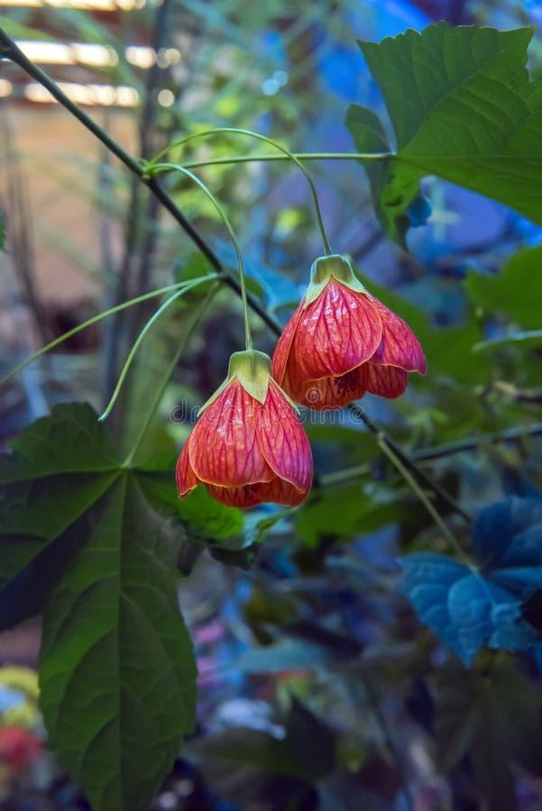De CHINESE LANTAARN die van Abutilonhybridum kleurrijke bloem hangen stock afbeelding