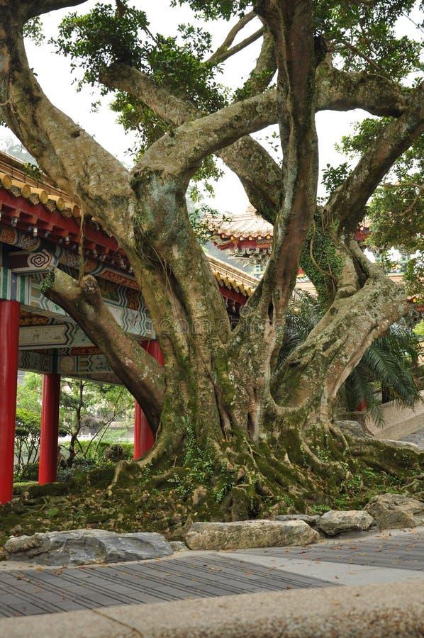 De Chinese oude boom van de tempelmanier stock foto