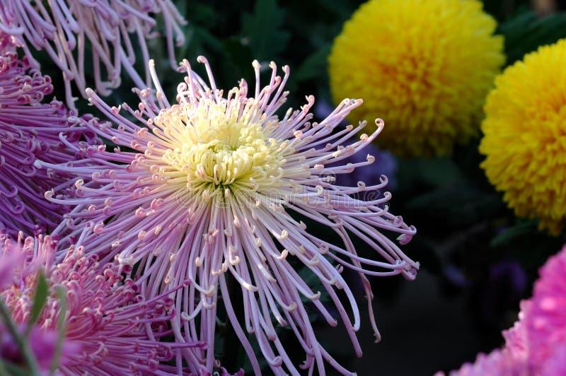 De chrysant van de close-up stock foto