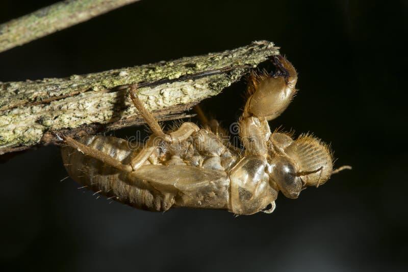 De cicade ruit transformatie bij tak aan volwassen insect op zwarte bedelaars stock foto