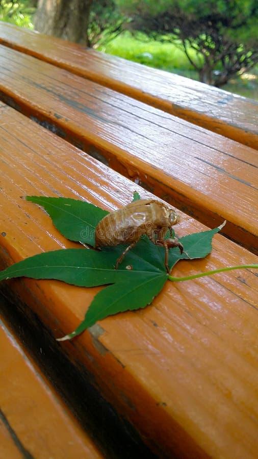De cicade wordt gevangen op een esdoornblad stock fotografie