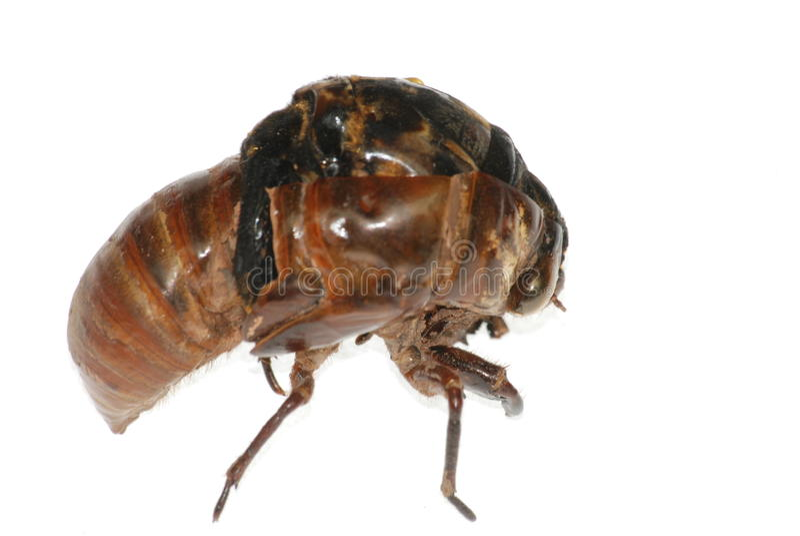De cicadeeclosion van het insect royalty-vrije stock afbeelding