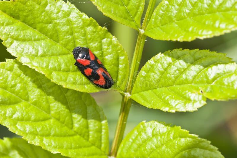 De cicaden van het bloed - Cercopidae stock fotografie