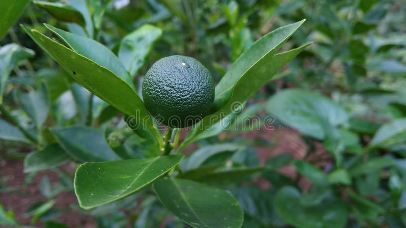 De citrusvrucht Calamondin is nog Ruw stock foto's