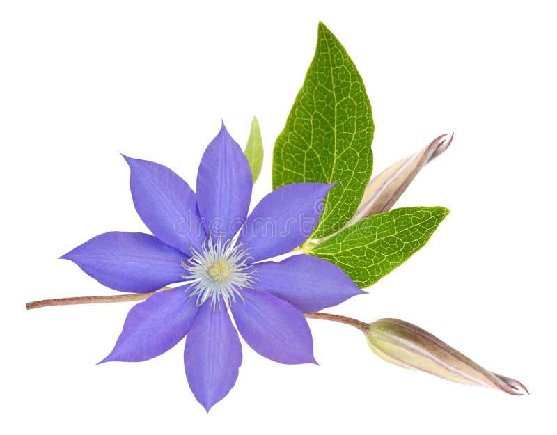 De clematis bloeit knoppen en bladeren stock foto's