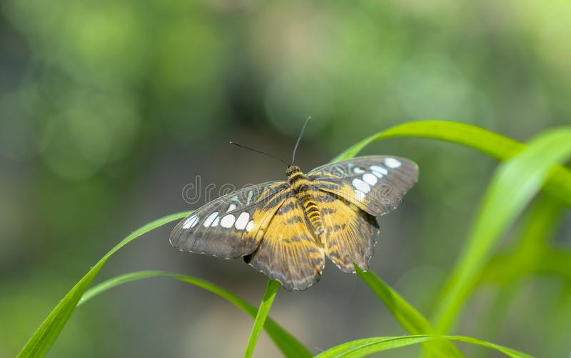 De Clipper species van nymphalidvlinder Parthenos Sylvia stock afbeelding