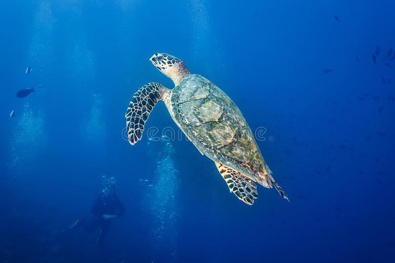 De close-up als scuba-duiker let hawksbill op schildpad zwemmend in blauwe oceaan stock foto's