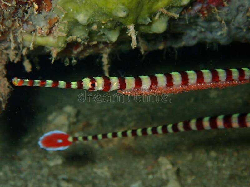 De close-up en het macroschot van mannetje verbonden Pipefish met eieren tijdens vrije tijd duiken in Sabah, Borneo stock foto