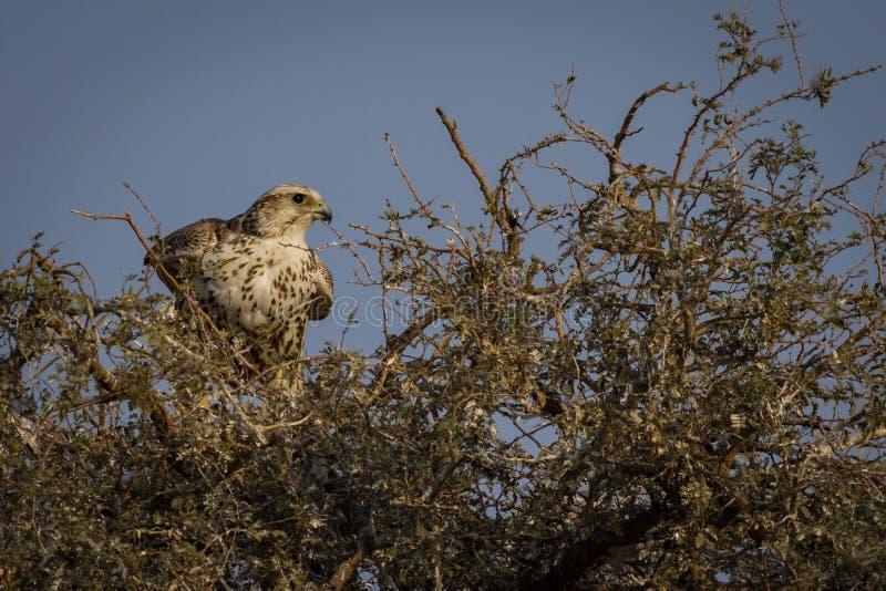 De close-up nationale vogel van de Sakervalk van mangolia die bikaner, Rajasthan India bezoeken stock foto's