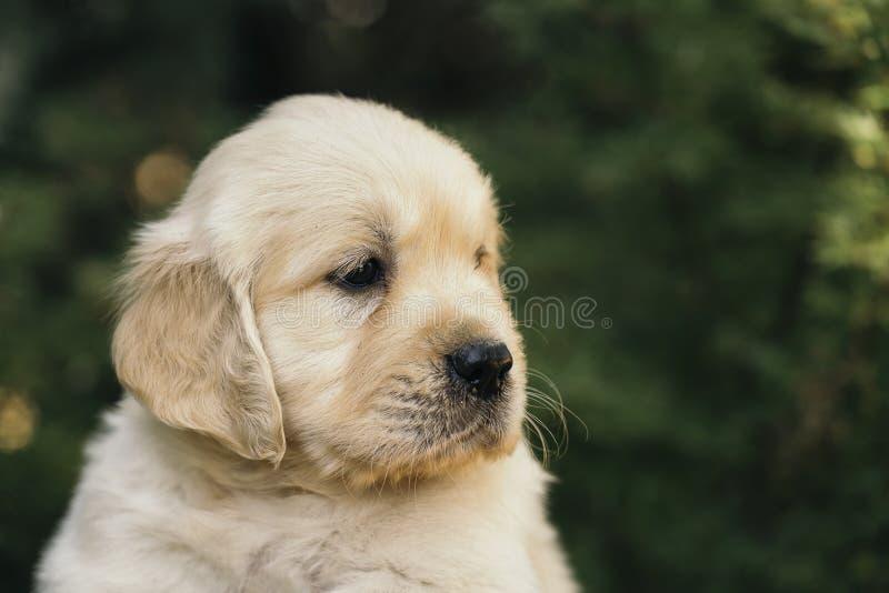 De close-up in openlucht portret van het golden retrieverpuppy, één maand oud stock foto