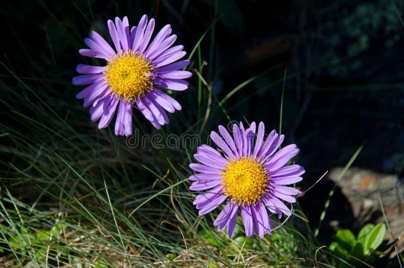 De close-up van bloemenasters stock afbeeldingen