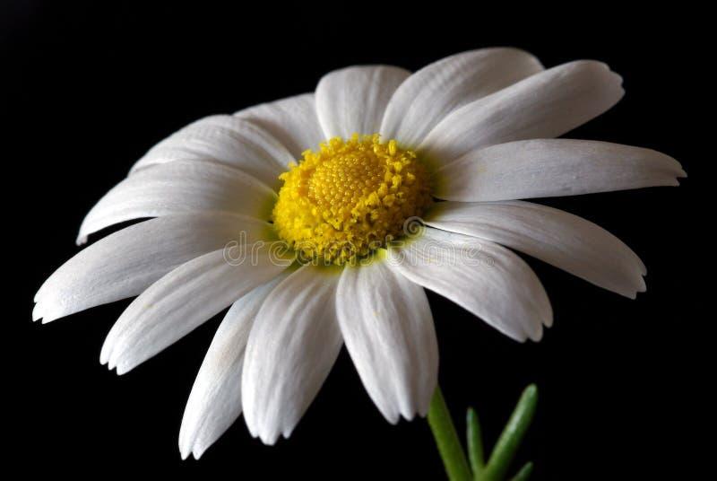 De close-up van Daisy stock foto
