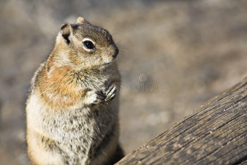 De close-up van de aardeekhoorn royalty-vrije stock foto's