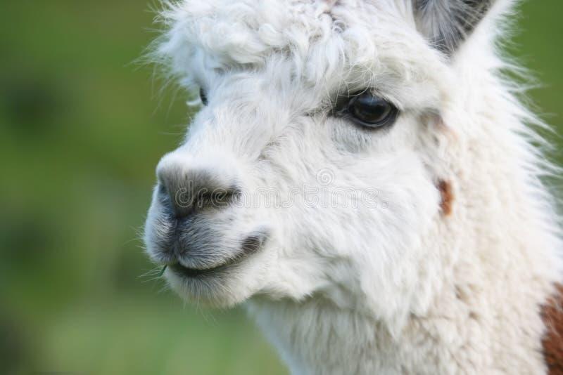 De Close-up van de alpaca stock afbeeldingen