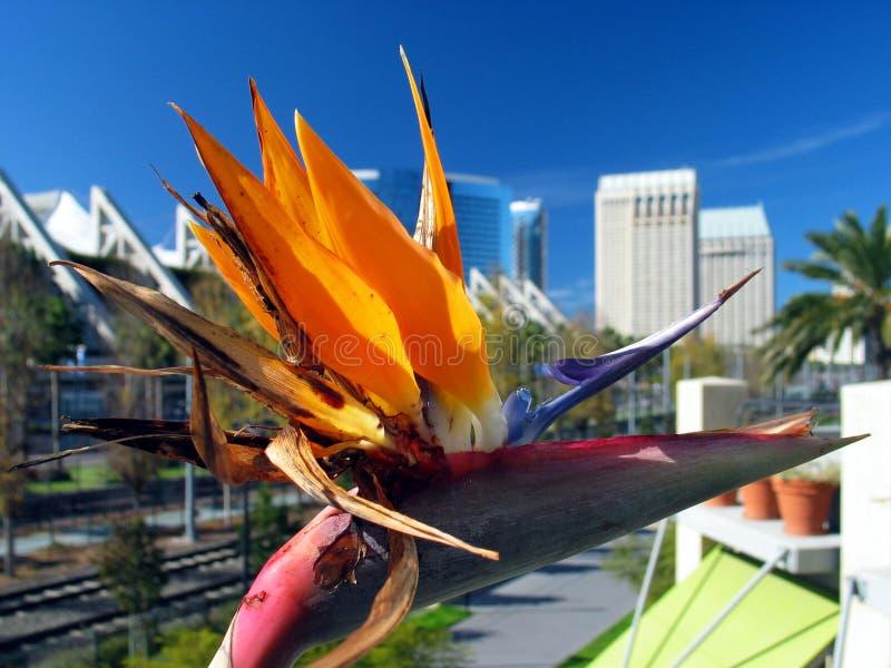 De close-up van de bloem, met de stad van San Diego op de achtergrond. royalty-vrije stock foto